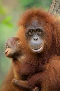 An orangutan and her baby — Photo courtesy of Animal Planet / BBC