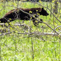 A black bear runs back into the woods on Rugged Justice. Photo courtesy of Animal Planet.