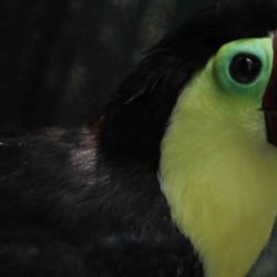 Grecia the toucan is the subject of the new documentary Toucan Nation from director Paul Heredia. Photo courtesy of Animal Planet.