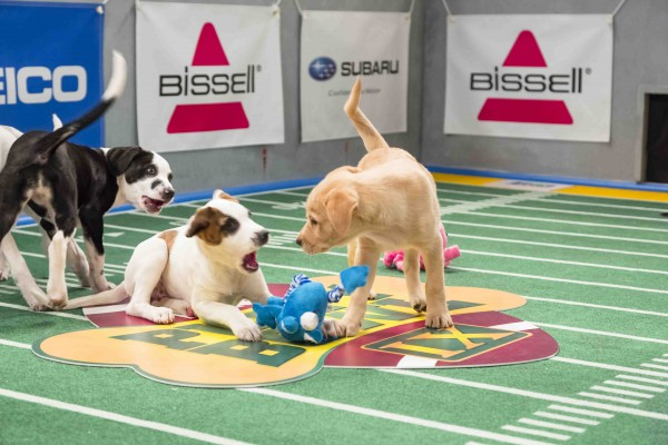 'Puppy Bowl: IX' airs on Animal Planet on Sunday, Feb. 3 at 3 p.m. — Photo courtesy of Animal Planet / Keith Barraclough