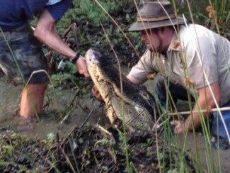 Relocating a gator — Photo courtesy of Animal Planet