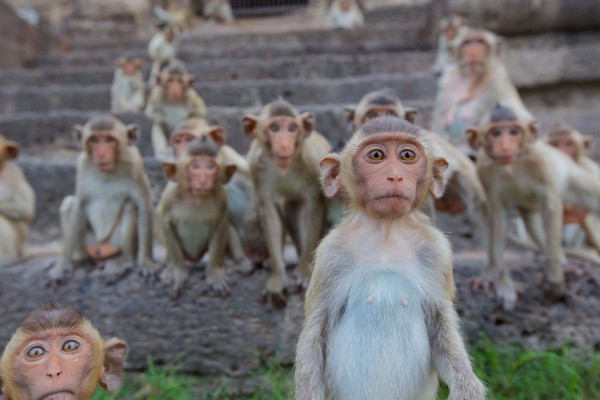Young long-taled macaque while others look on — Photo courtesy of Animal Planet / BBC