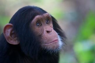 A young chimpanzee — Photo courtesy of Animal Planet / BBC