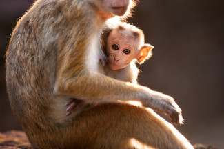 Kip is Maya's son, and both are featured in Disneynature's Monkey Kingdom — Photo courtesy of Jeff Wilson - Disney