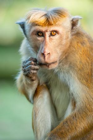 Kumar wants to be the new king in Monkey Kingdom — Photo courtesy of Jeff Wilson - Disney