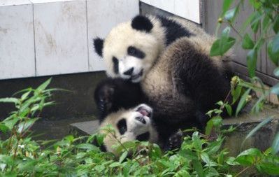 Shun Shun and Xi An play around in Panda Republic. Photo courtesy of Animal Planet / Mark Orton.