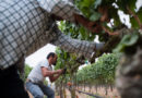 INTERVIEW: 'Harvest Season' documents Mexican-American influence in California wine country